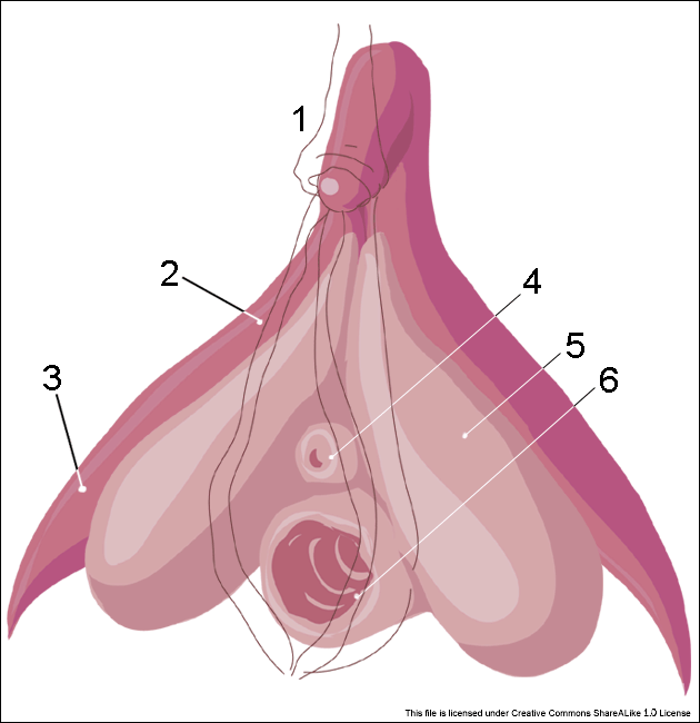 Clitoris_inner_anatomy_numbers